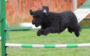dog doing agility jumping fence